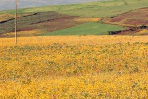 Fields of Meskal Flowers (adei abeba)